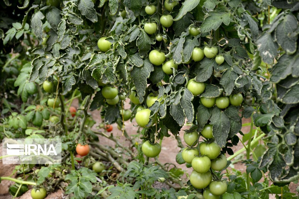 خبرنگاران استفاده از زنبور برای کنترل آفات در مزارع گوجه فرنگی قزوین